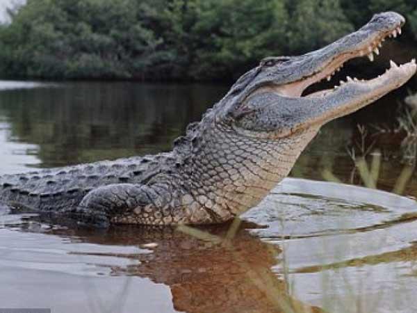 Mơ thấy cá sấu là điềm gì? Đánh đề con bao nhiêu?