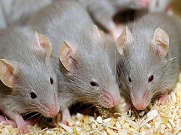 Mơ thấy chuột là điềm báo gì? Đánh đề con gì trúng lớn?