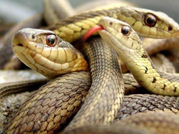 Mơ thấy ba con rắn là điềm lành hay dữ?