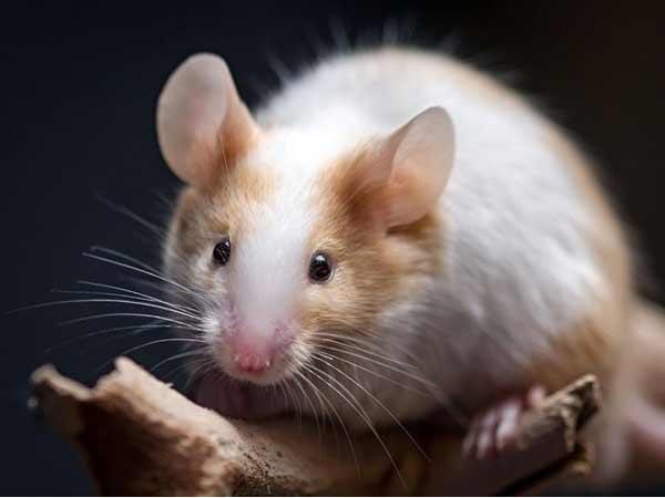Mơ thấy chuột có liên quan đến những con số may mắn hay không?