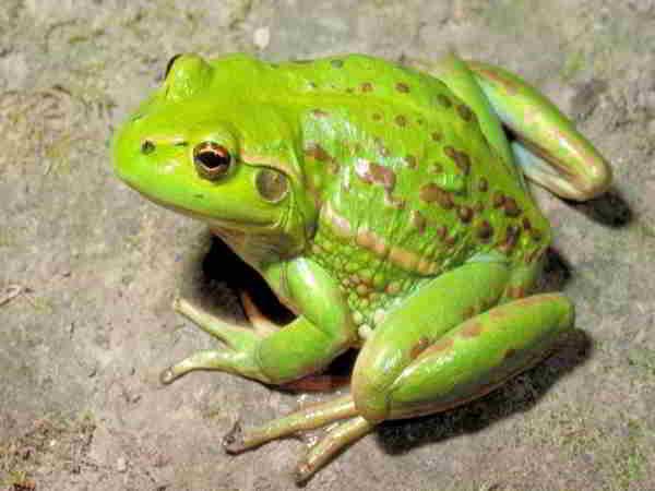 Mơ thấy ếch là điềm báo điều gì?