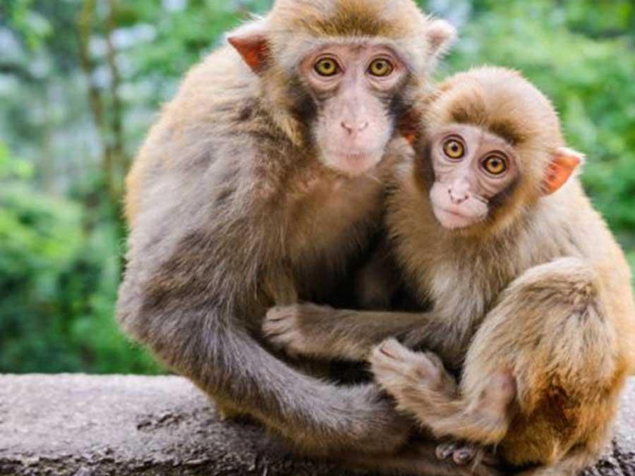 Mơ thấy con khỉ - Ngủ mơ thấy con khỉ đánh con gì ăn chắc