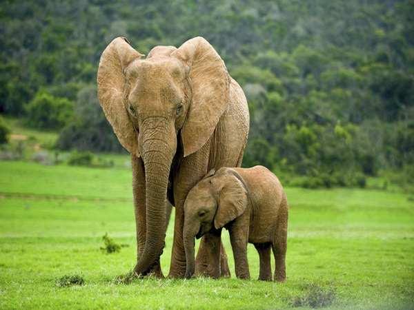 Ngủ mơ thấy con voi là điềm báo hung hay cát ? Đánh số mấy ?