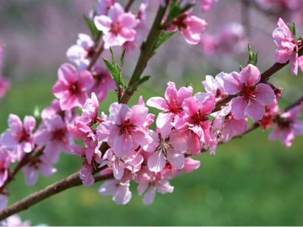 Mơ thấy hoa đào điềm báo lành hay dữ?