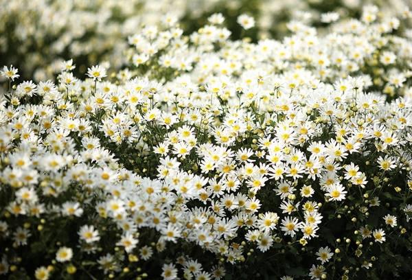 Nằm mơ thấy hoa cúc mang đến may mắn gì cho bạn