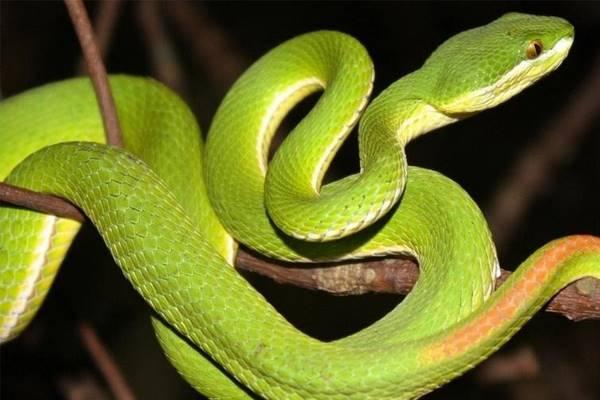 Nằm mơ thấy con rắn xanh tham khảo ngay cặp số gì đánh số mấy