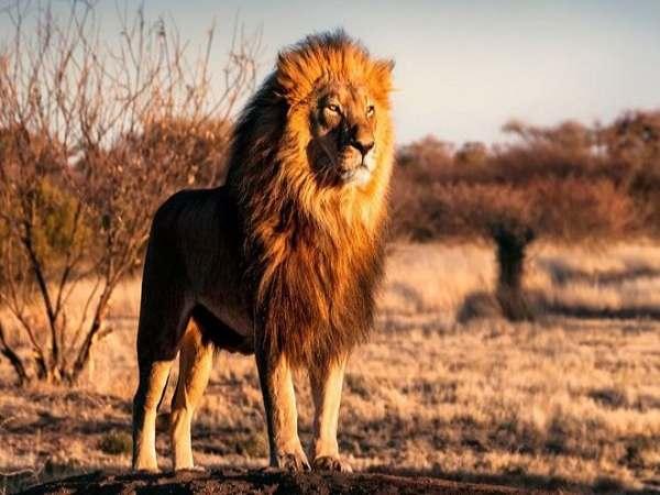 Nằm mơ thấy sư tử đánh số đề con gì ? Là điềm hung hay cát ?